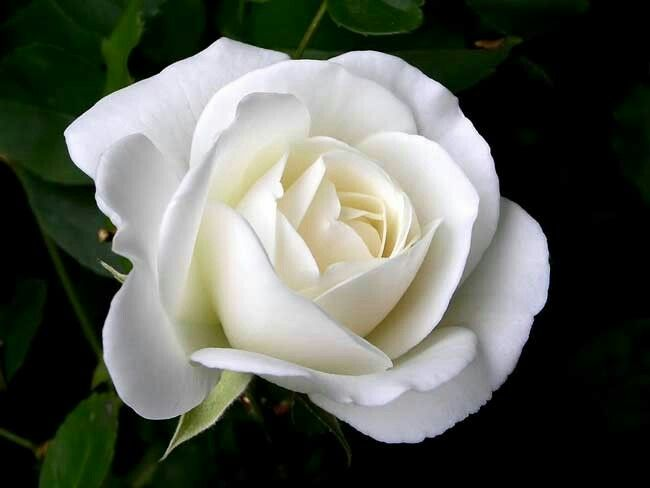 Pin by pam mccandless on pics just because pinterest white rose flower meaningwhite rose flower white rose symbolic white flowers white rose meaning without vibrant color to upstage it mightylinksfo