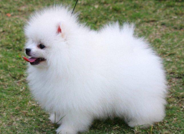 Pin By Lilly David On My Cute Puppy Pomeranian Puppy Cute Dogs Pomeranian Dog