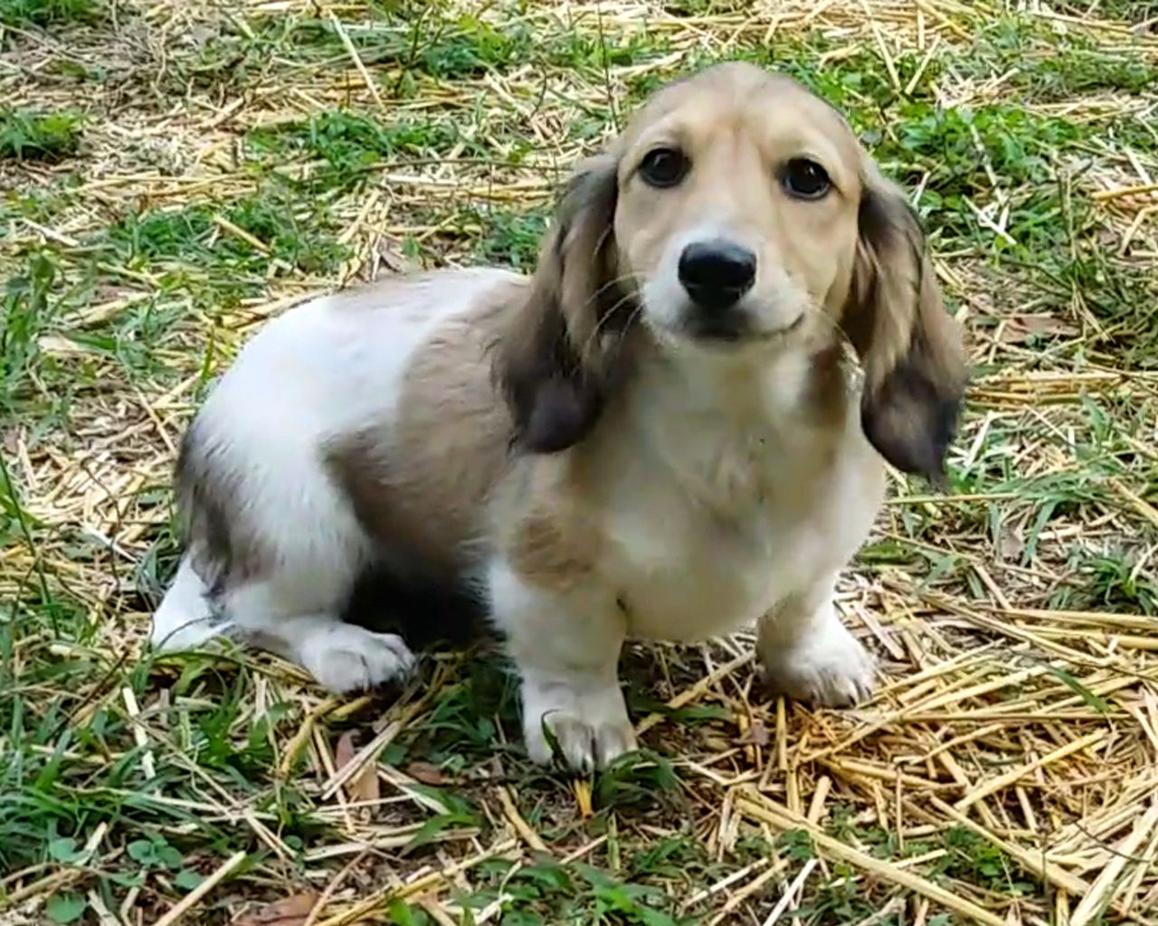 English Cream Long Haired Miniature Dachshund Royalworth S Rich