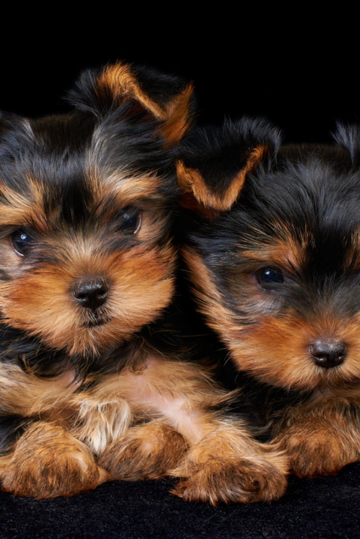 Two Puppies Of The Yorkshire Terrier On The Black Background Yorkshireterrier Yorkshire Terrier Puppies Yorkshire Terrier Terrier