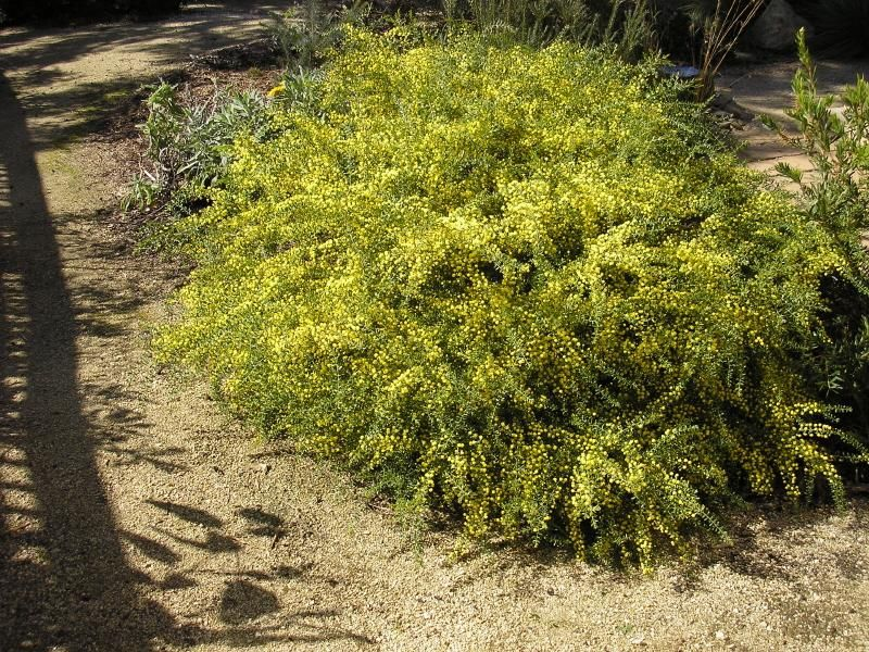 Small Medium Shrub Understorey Bird Attracting Acacia