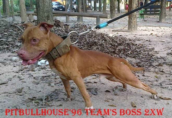 Online Pedigrees 278552 Pitbull House 96 Team S Boss