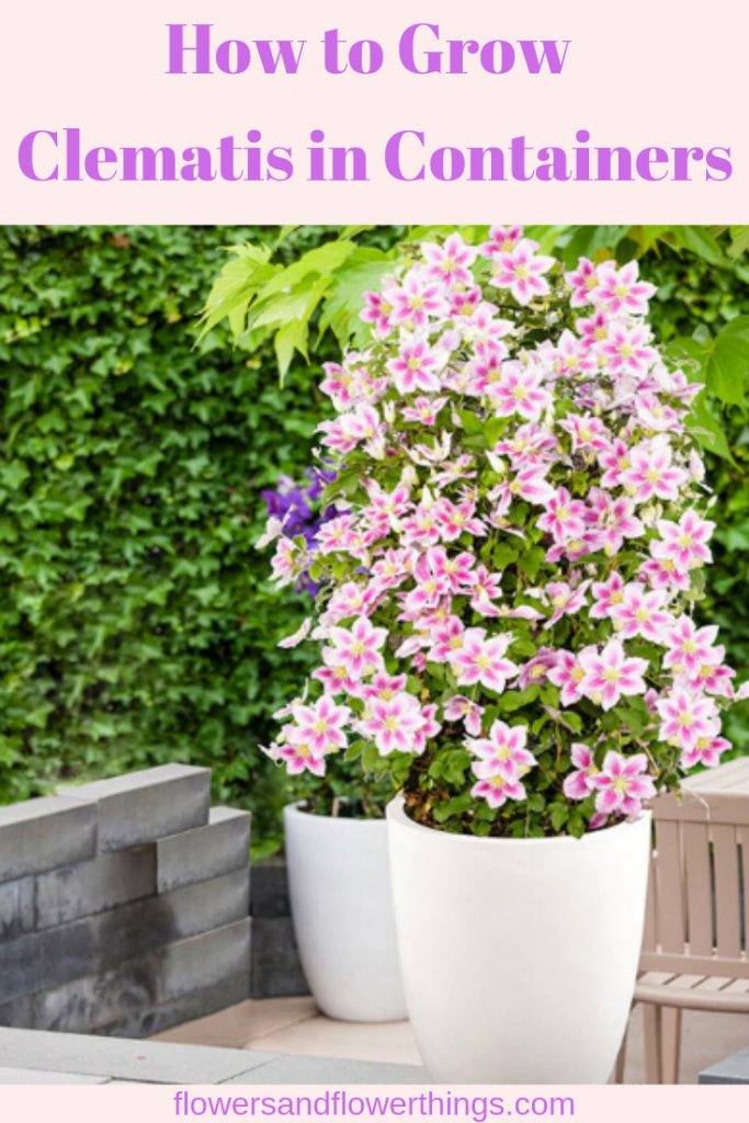 How to Grow Clematis in Containers - | Clematis plants ...