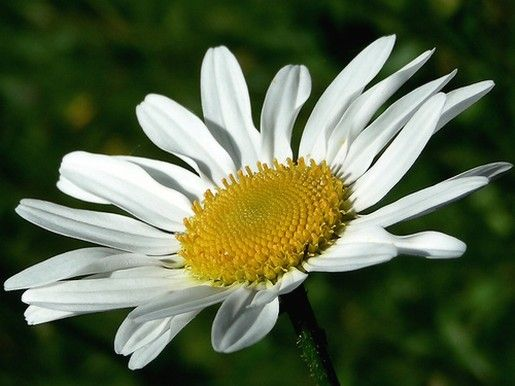 Pin By Hope Brown On White With Yellow Pinterest Flowers Daisy