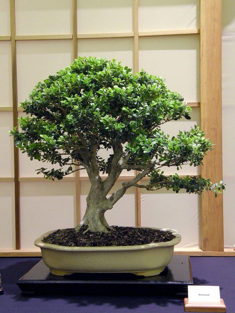 Bonsai Tree Care Instructions Bonsai, Bonsai Tree