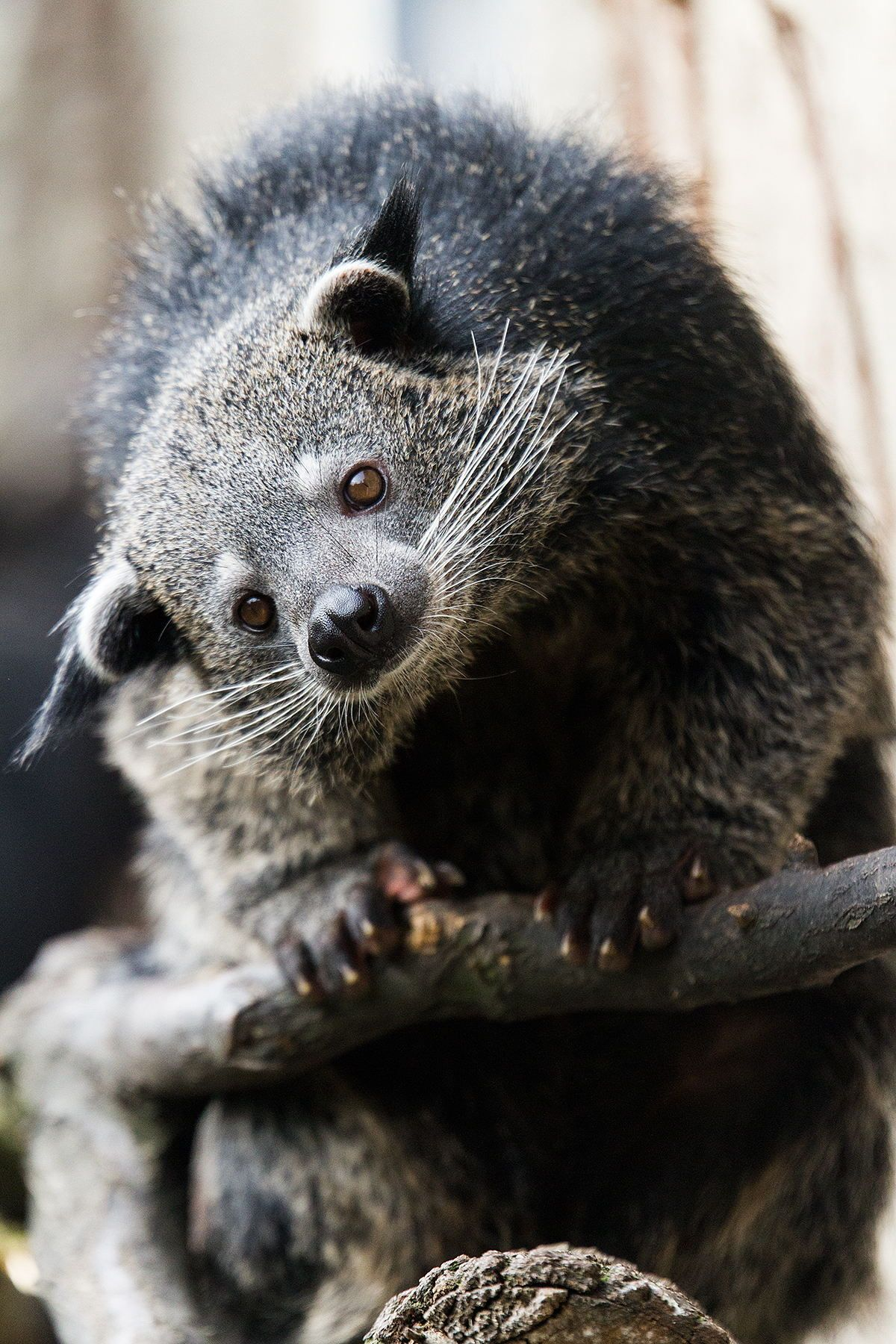 Binturong, also known as bearcat, is a viverrid native to
