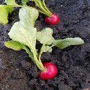 El cultivo de rabanitos en maceta ecoagricultor.com