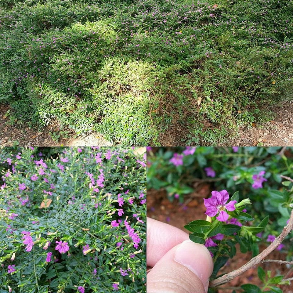 Scientific Name Cuphea Hyssopifolia Family Name Lythraceae Common Name False Heather Leaves Simple Medium Ground Cover Colorful Flowers Outdoor Gardens