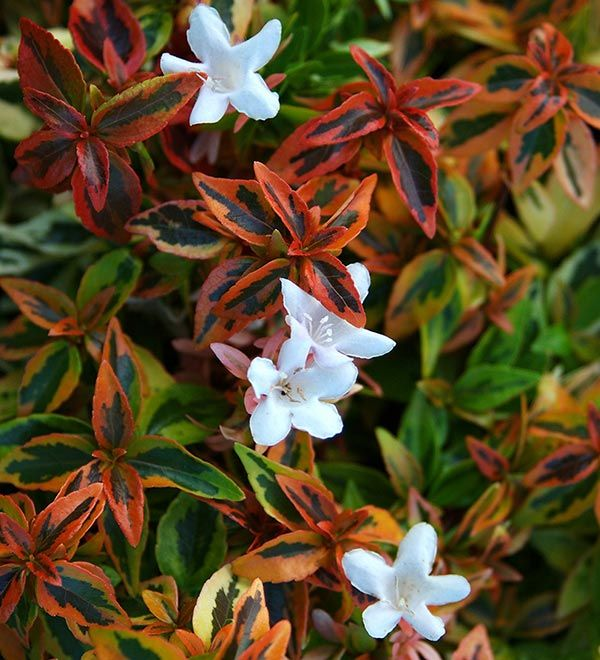 Looking for a dwarf easy care evergreen shrub that for Easy care garden shrubs