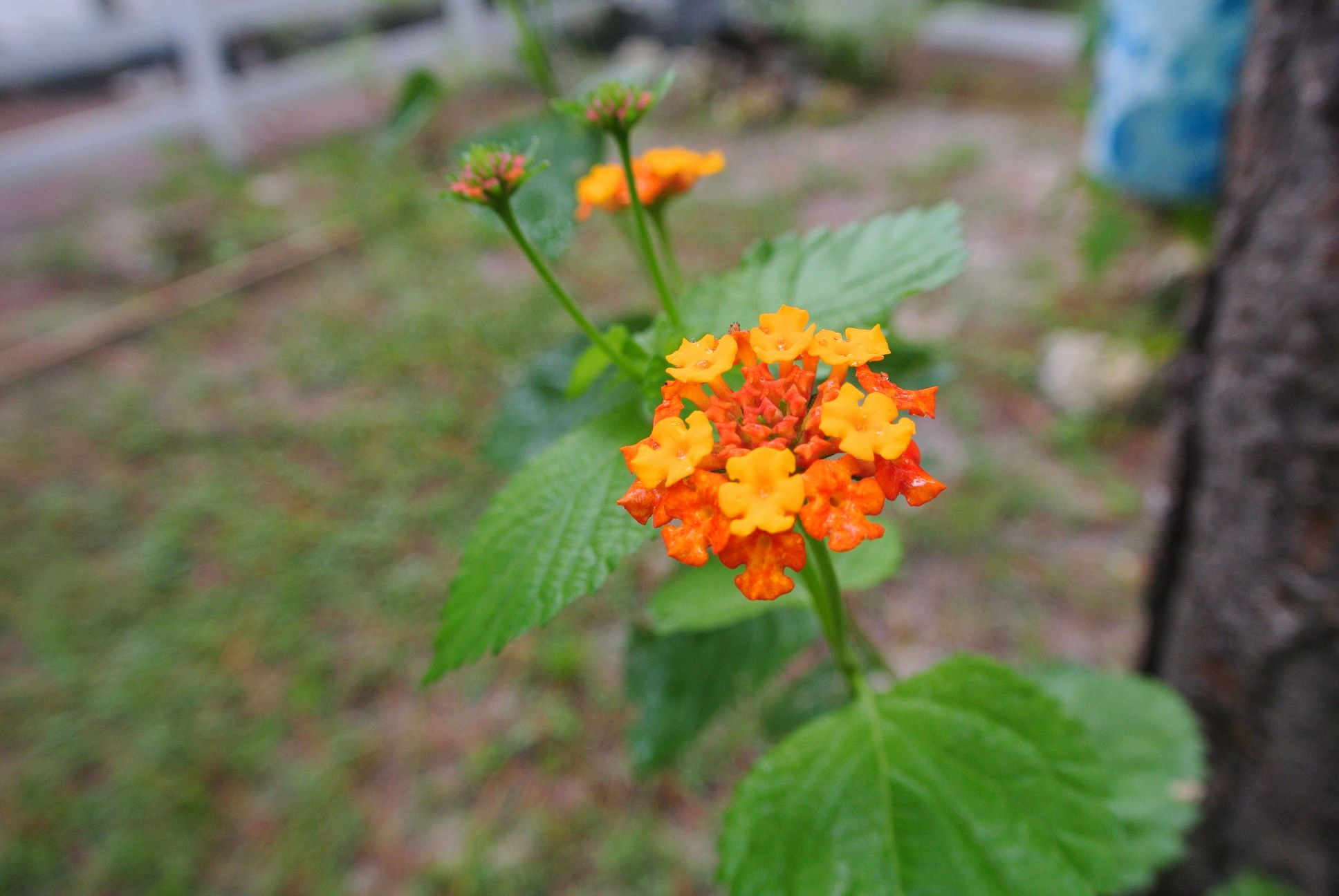 Lantanas Aromatic Flower Clusters Called Umbels Are A Mix Of Red