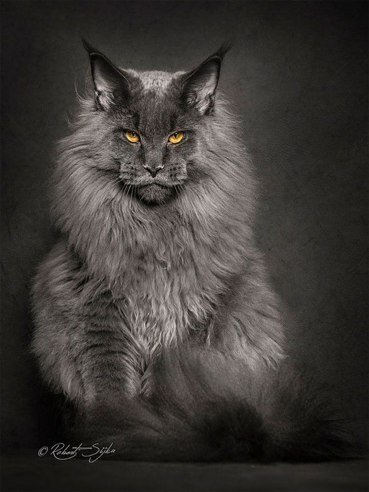 portraits of maine coon cats who look like majestic mythical creatures. Black Bedroom Furniture Sets. Home Design Ideas