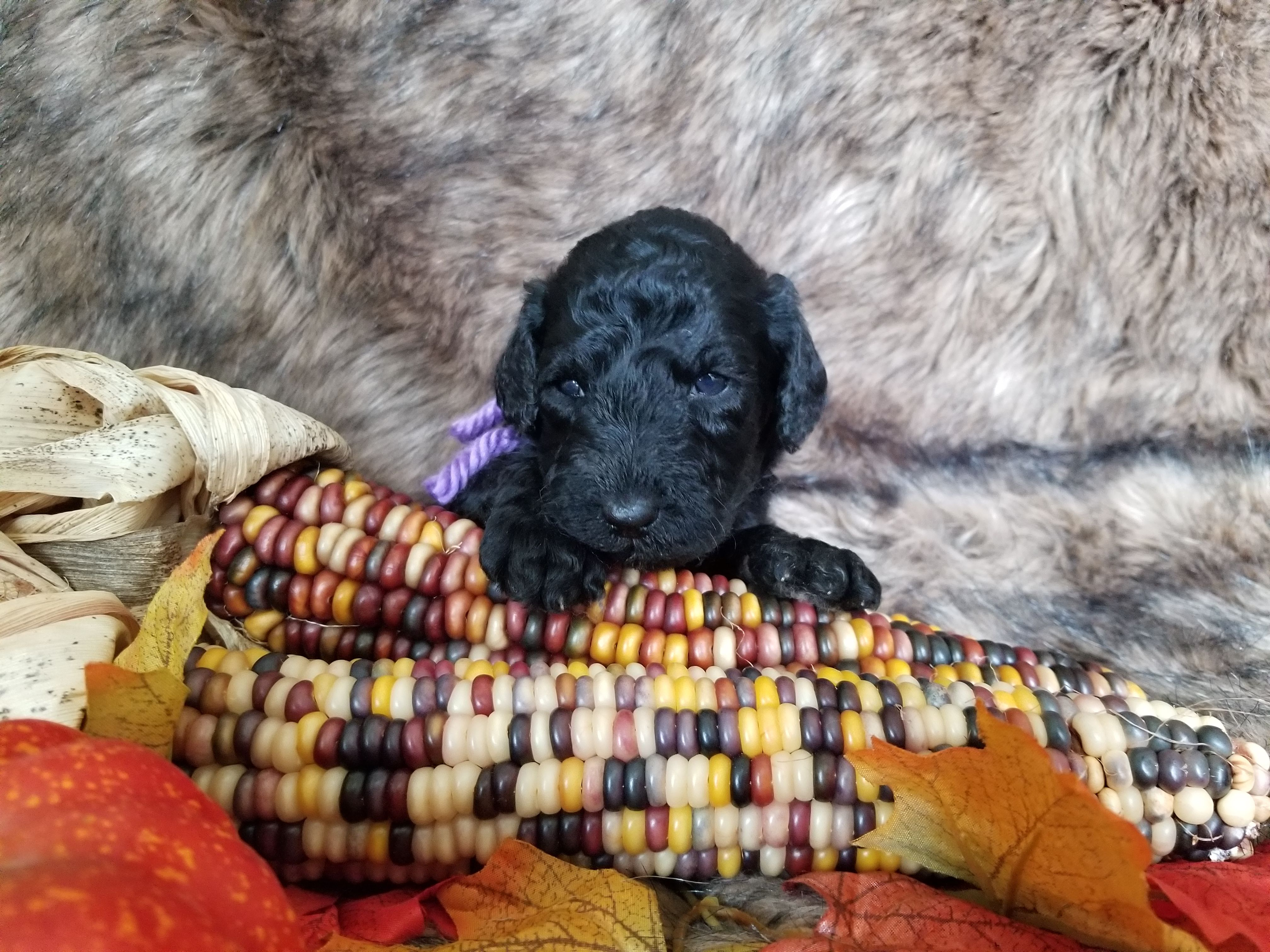 Pin by angela denny on schnoodle puppies schnoodle puppy