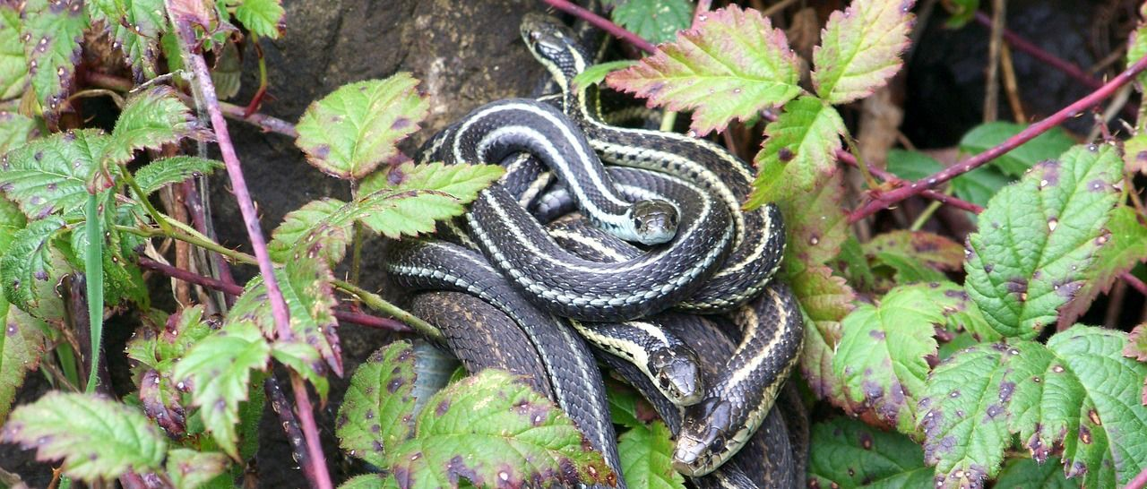 Garter snakes - one of the best pet snakes available
