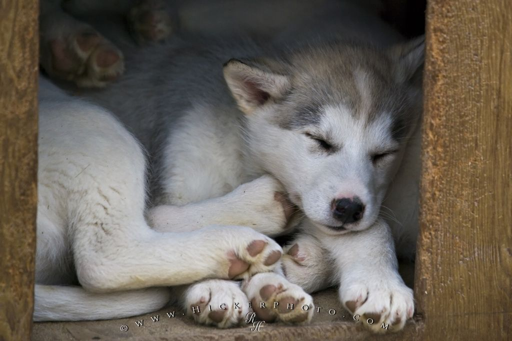 Photo Of A Litter Of Canadian Eskimo Dog Puppies Cuddled Up
