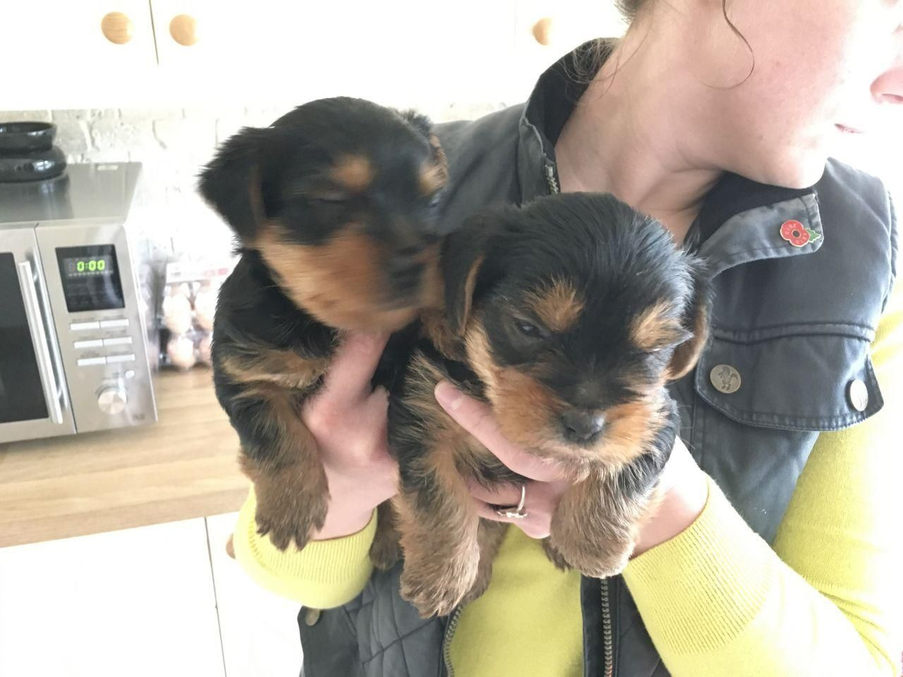 Adorable Pedigree Miniature Yorkie Puppies. whatsapp me