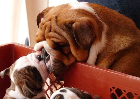 Pin By Roxann Davis On Bulldogs Animals Kissing Bulldog Cute
