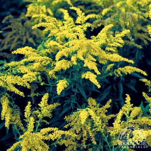 Goldenrod Golden Baby Solidago Plants Goldenrod Flower Perennials
