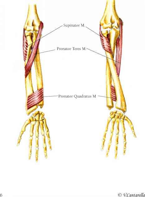 supinator | THE SUPINATOR MUSCLE | nasm | Pinterest | Muscles and ...
