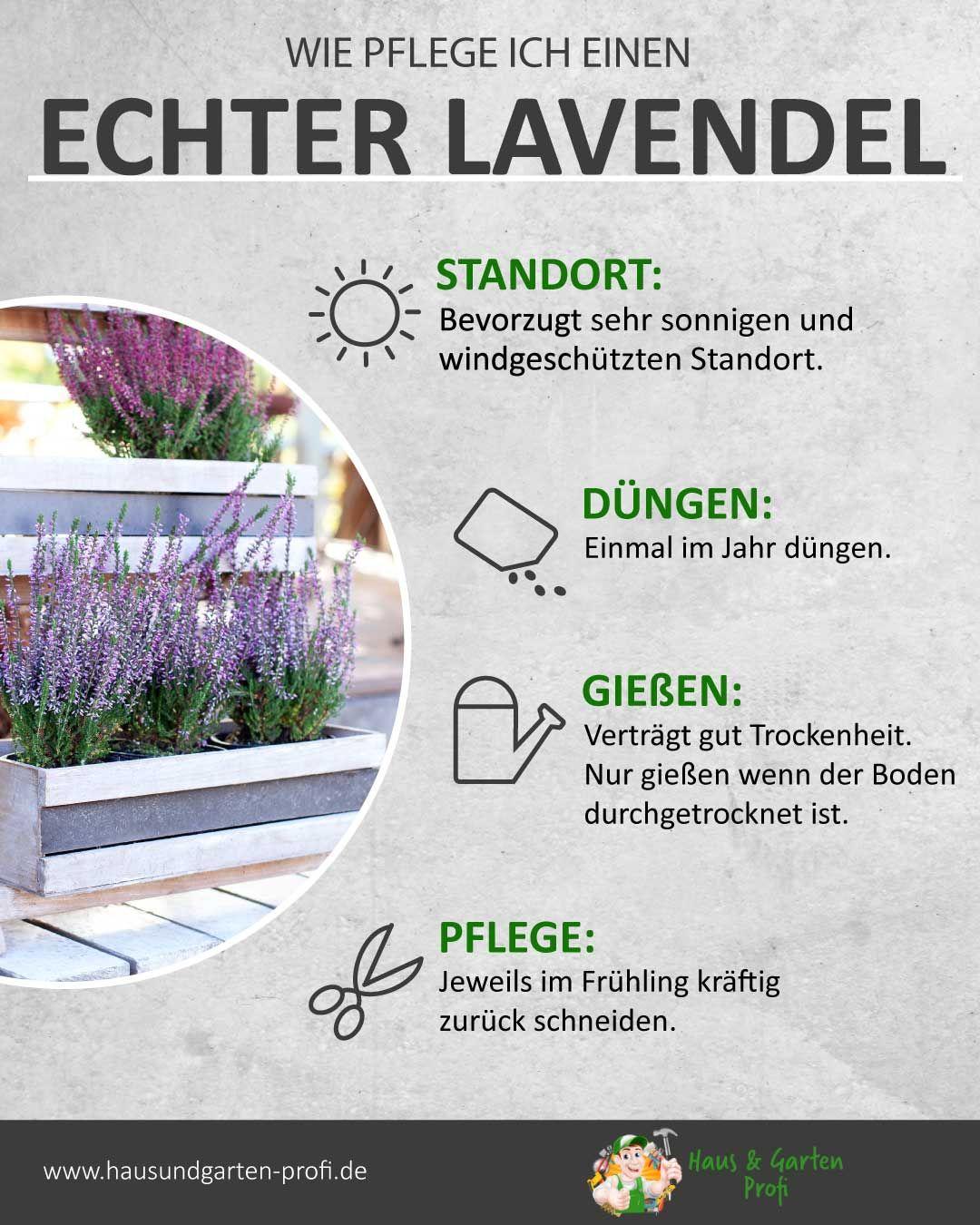Der echte Lavendel Tricks und Tipps zum Thema: (Pflege, Gießen, Düngen, Standort)