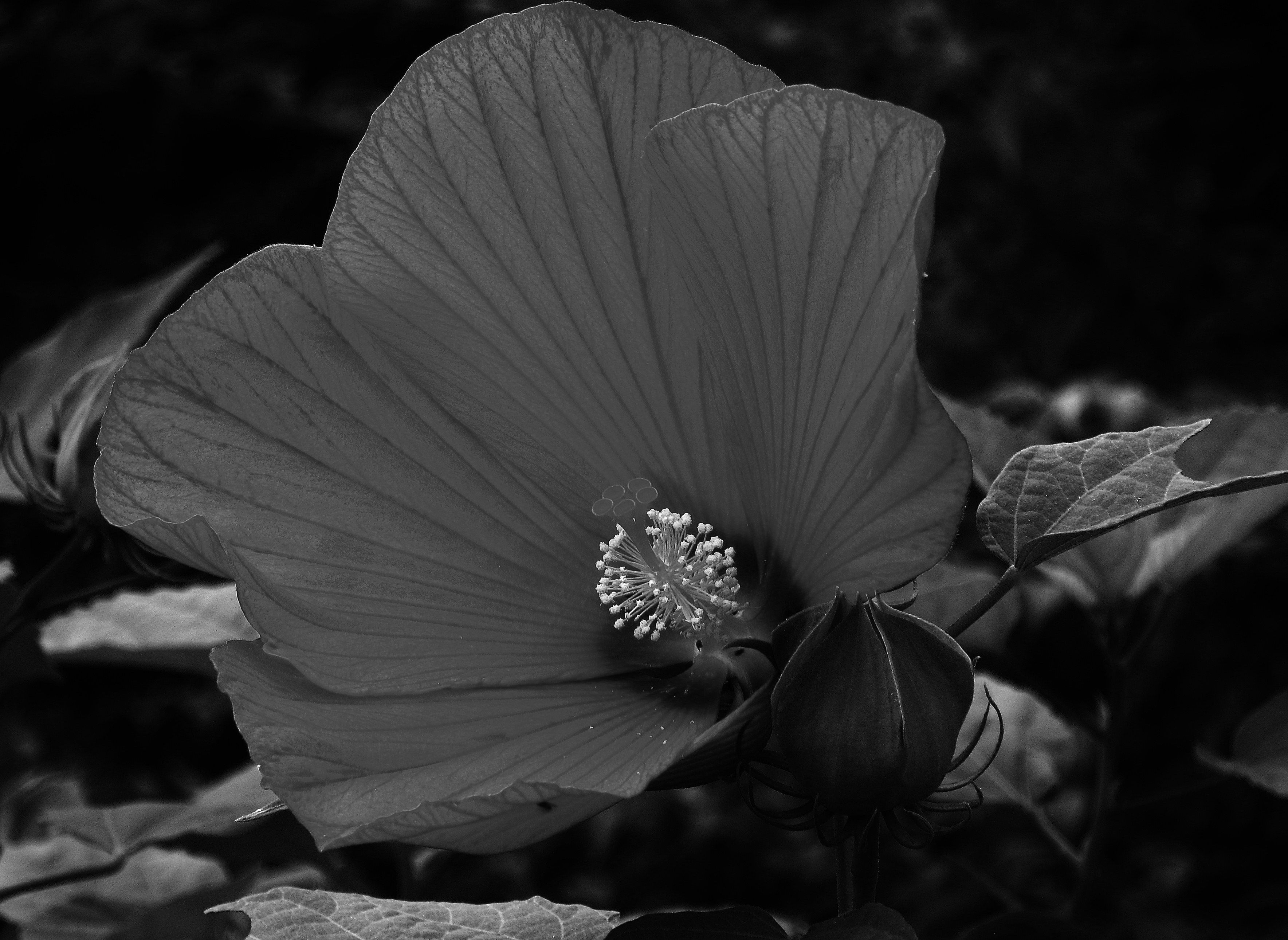 Black And White Hibiscus Michelle Mcferran Conrad Photography White Hibiscus Hibiscus Flowers