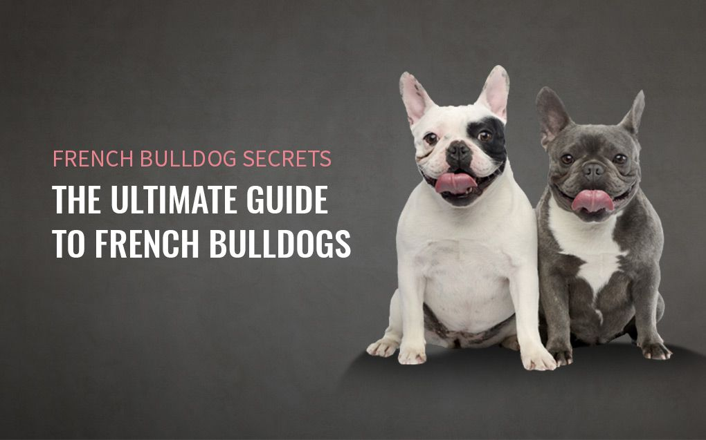 French Bulldog Secrets The Ultimate Guide French Bulldog