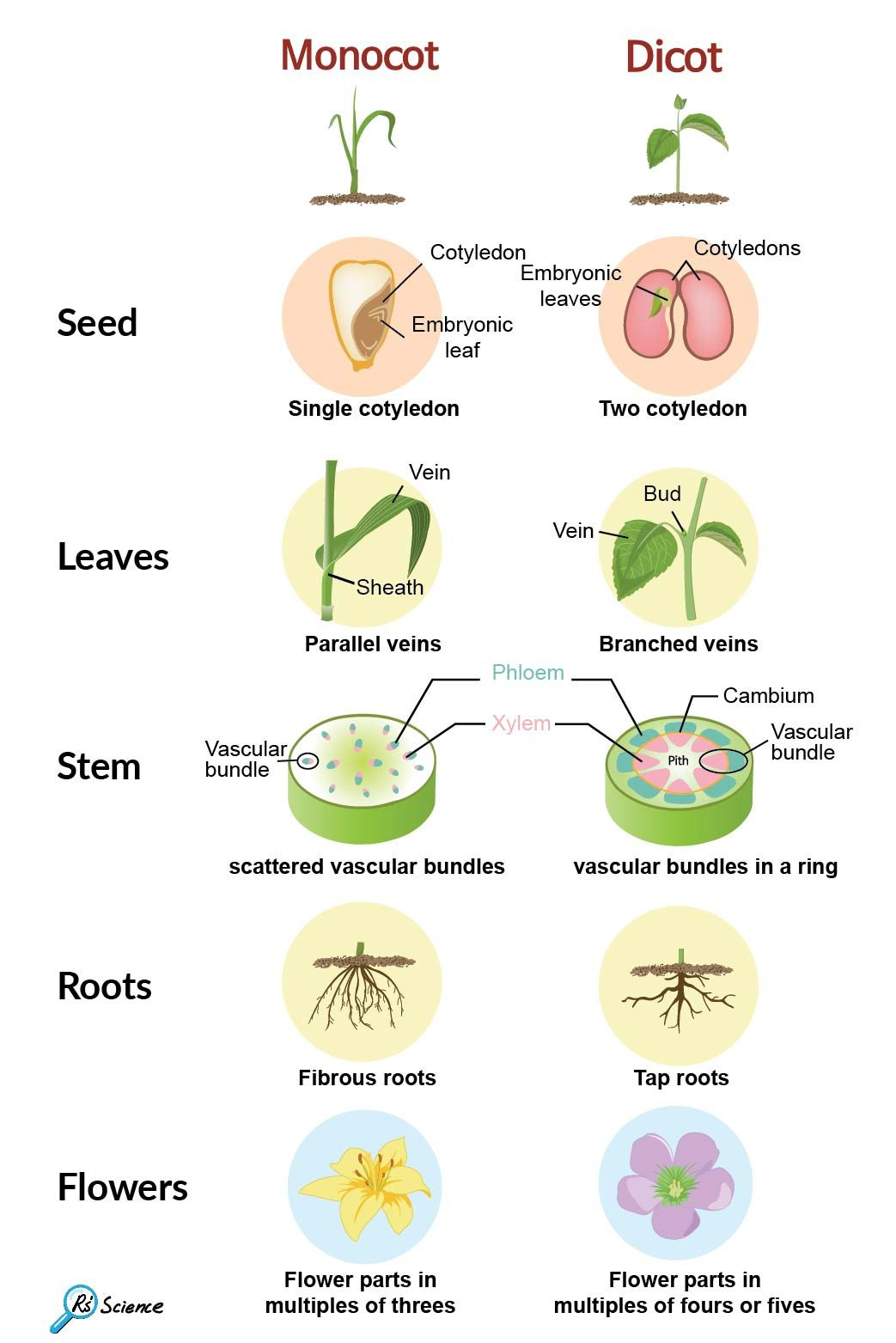 Monocot Vs Dicot In