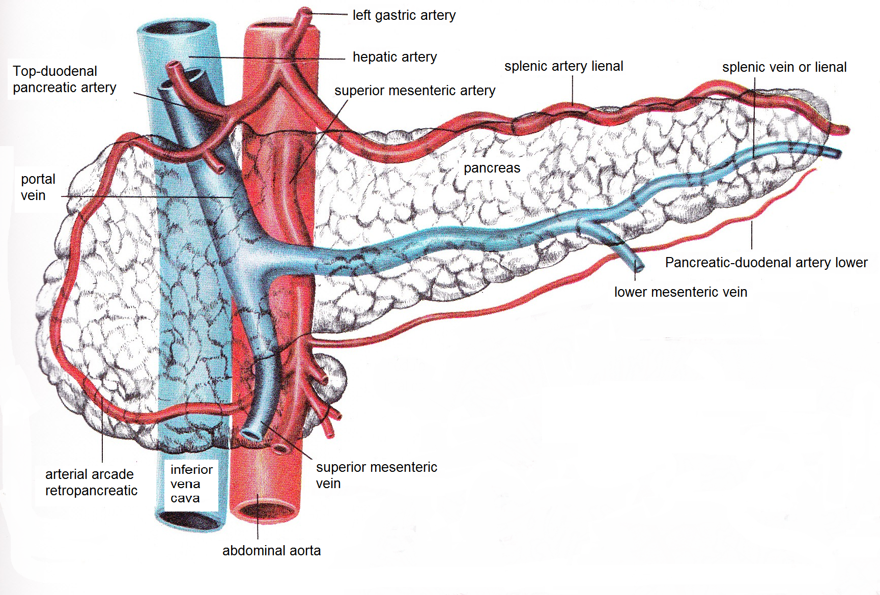 Pancreatic Veins Arteries And Head To The Portal Vein And