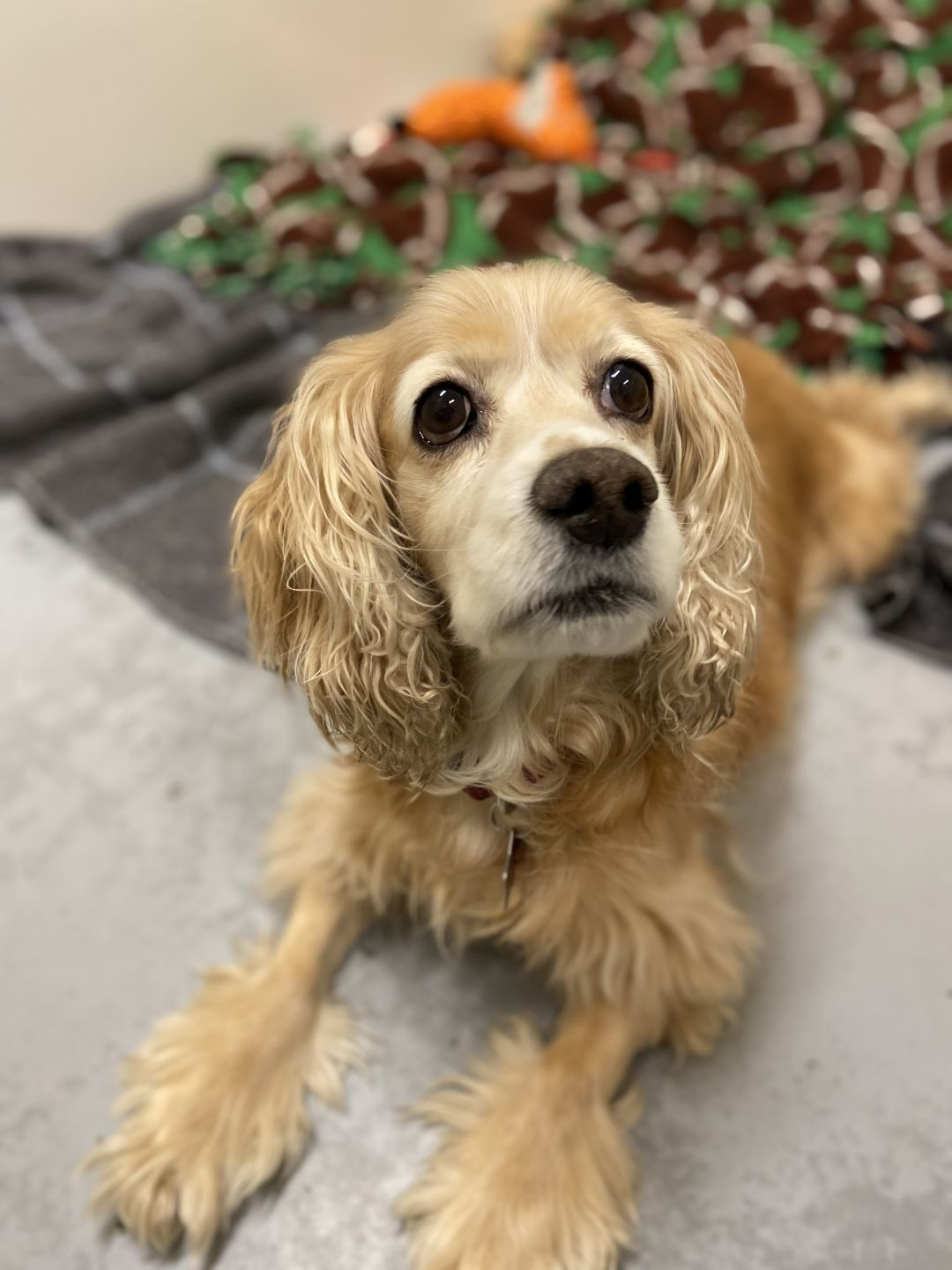 Adopt Paisley On Petfinder City Pets Dog Adoption Cocker Spaniel Mix