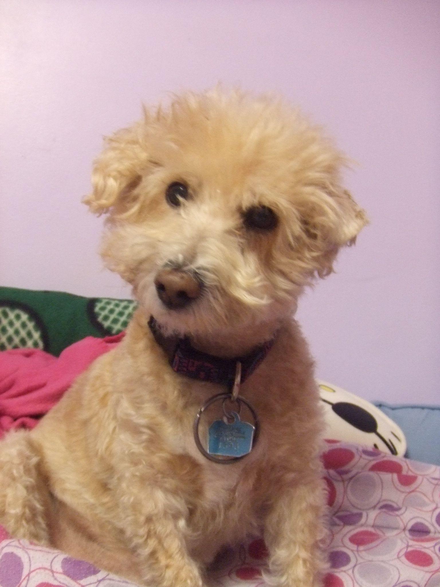 Cairnoodle Half Cairn Terrier Half Poodle Cairn Terrier