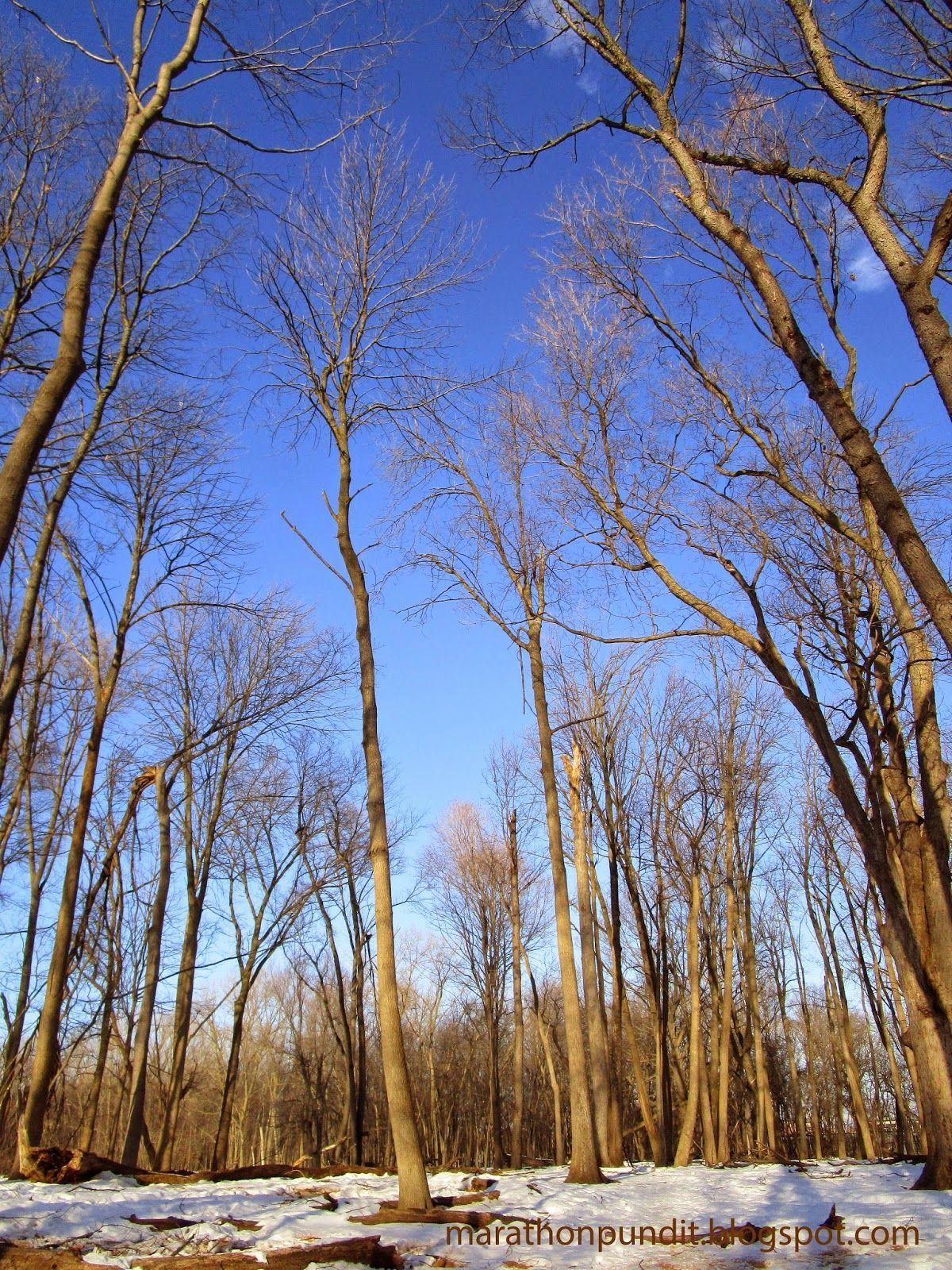Tall trees, blue sky, white snow #mortongrove Tall trees, blue sky, white snow at Morton Grove's St. Paul Woods Forest Preserve #mortongrove