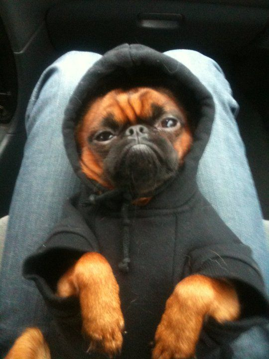 little pug gangster