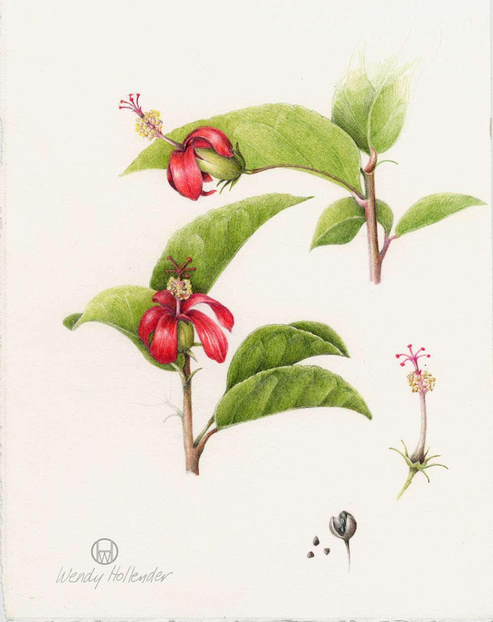 Hibiscus Clay's. From the collection of botanical illustrations of flowers by Wendy Hollender.