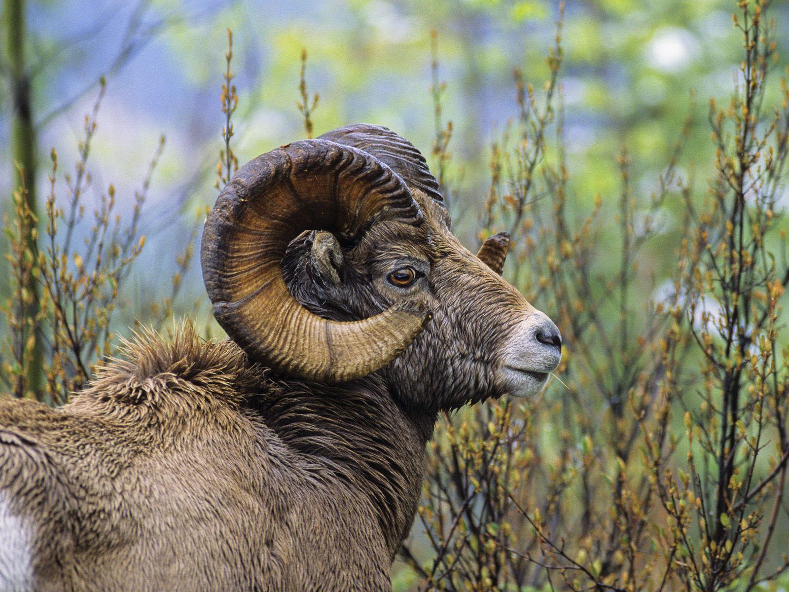 Bighorn Sheep Ram British Columbia Wild Animal Wallpaper