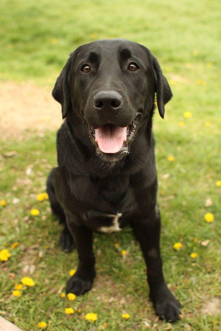 The Labrador Retriever Also Known As Simply Labrador Or Lab Is One Of Several Kinds Of Retrievers Black Labrador Retriever Labrador Retriever Black Labrador