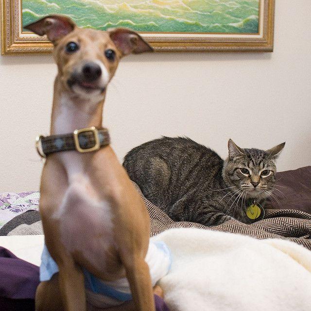 Resultado de imagen para italian greyhound and cat