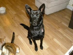 Jett is an adoptable Shepherd Dog in Homer, NY. I'm Jett, a shepherd mix pup who needs a home! I was rescued from Florida when a nice lady found me and my sister and took us in. I have been neutered, ...