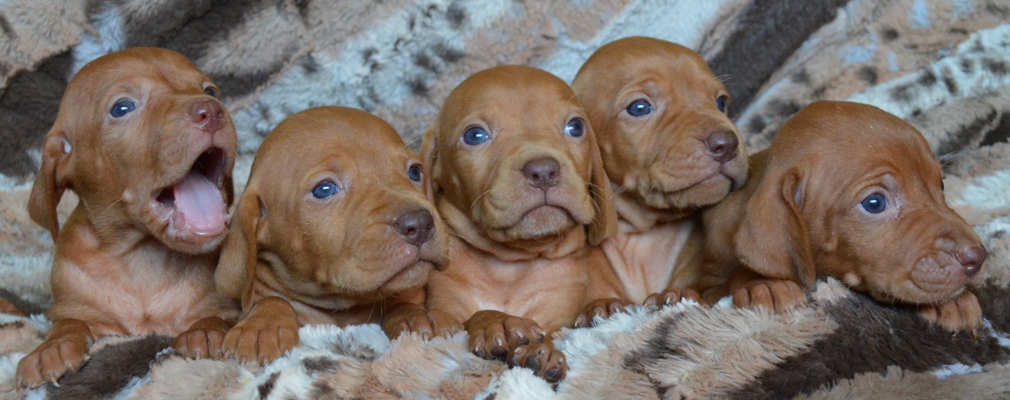 Hungarian vizsla breeders who have hungarian vizsla