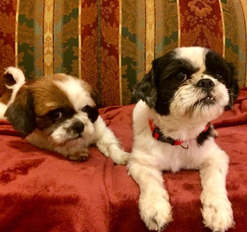 Adopt Bacon And Gizmo On Shih Tzu Dog Animals Animal Rescue