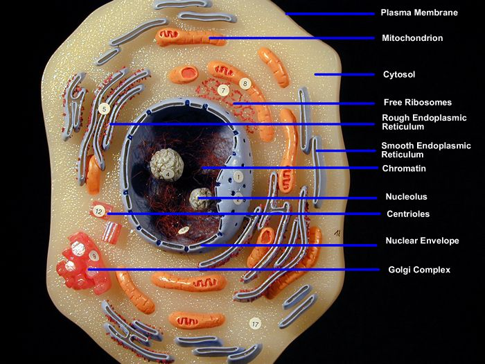 homemade cell model project ideas - Bing Images | Biology ...