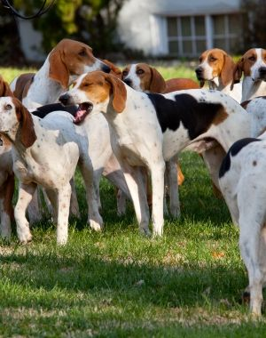 Information About American Foxhound Dog Breeds Dog Breeds Dogs American Foxhound