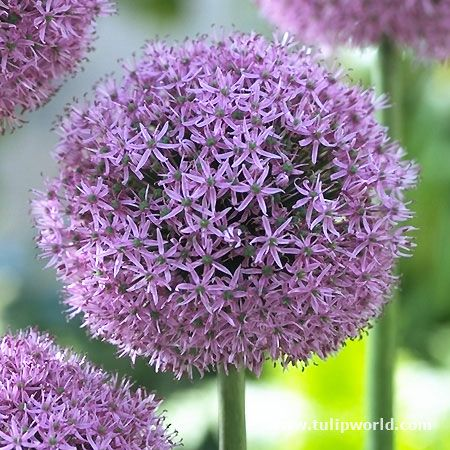 This Variety Is The Result Of Crossing Between Allium Aflatunense And Allium Macleanii The 4 5 Bloom Is Compact Ro Bulb Flowers Tulips Flowers Lilac Bouquet
