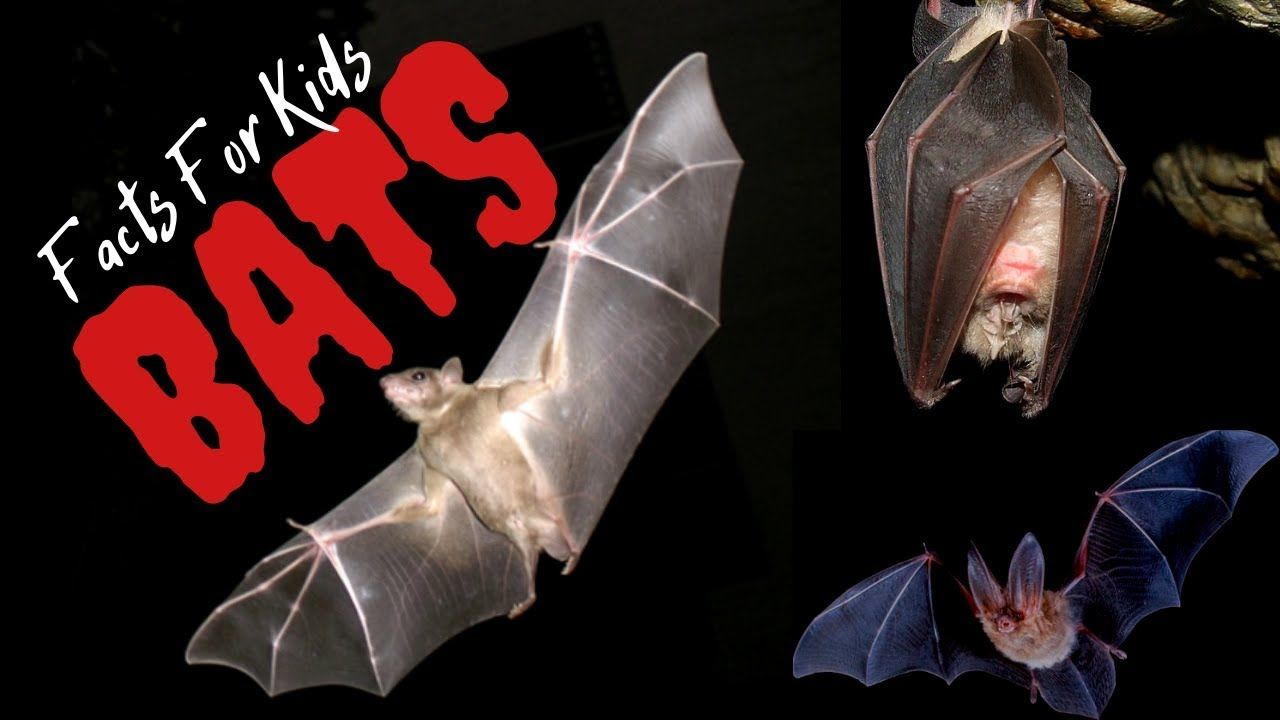 Facts About Bats For Kids Kids Learning Videos Bat Facts Kids Learning Videos Fun Facts About Animals