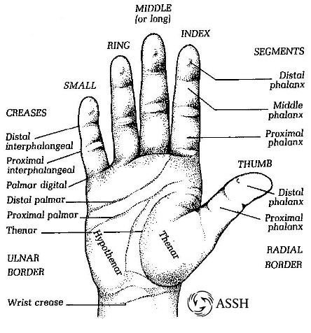 Diagram of hand surface ( no pun intended with the wall name ...