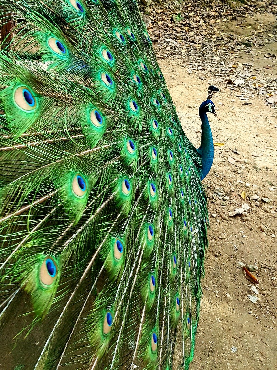 peacock peacock photography birds on extraordinary garden path and walkway design ideas and remodel two main keys id=75208