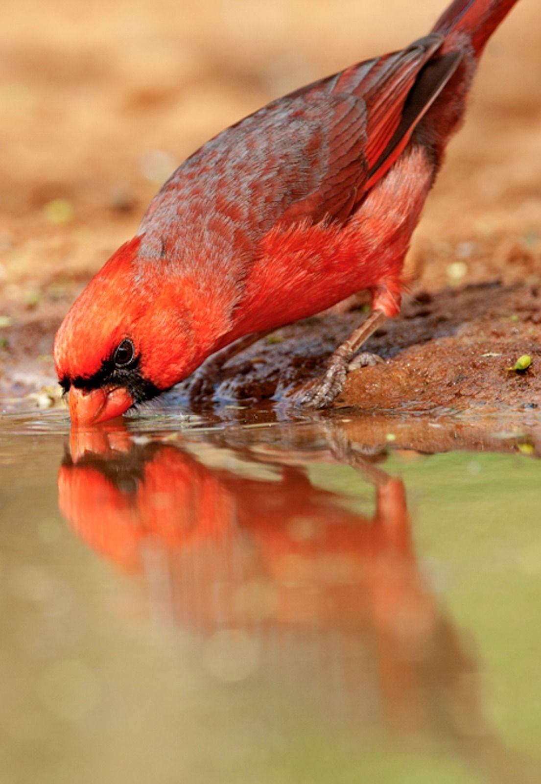 Northern Cardinal. Photo: Barbara J. Baird/Audubon Photography Awards