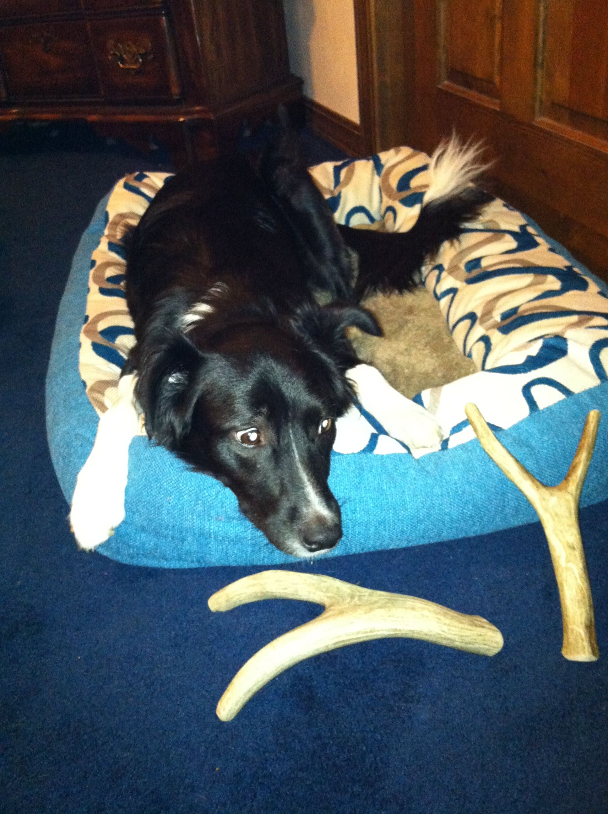 Dakota and her favorite chew. Antlers.