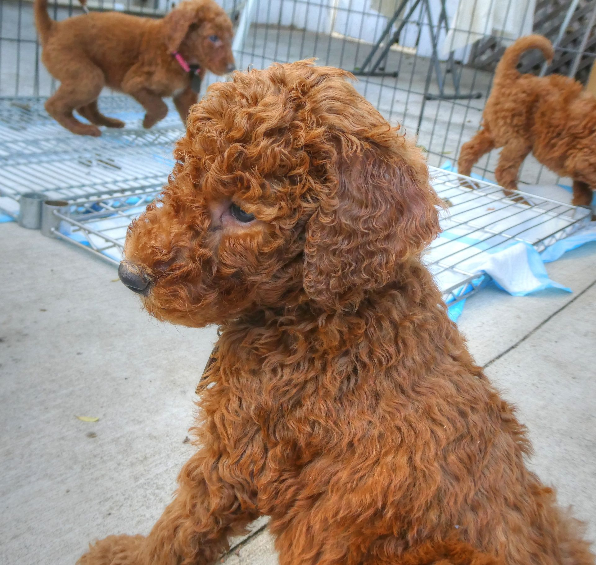 Goldendoodle puppy goldendoodle puppy labradoodle