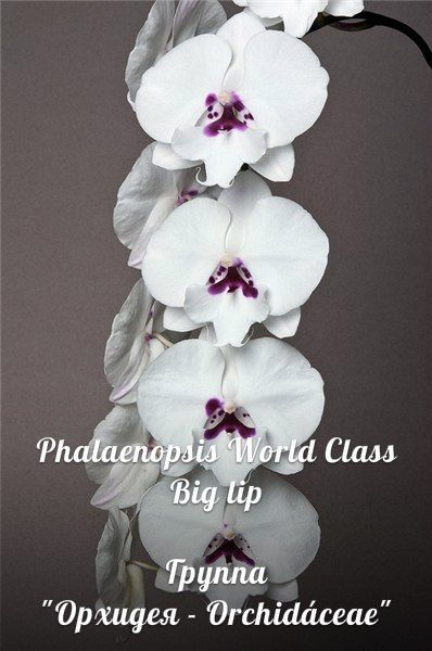 Фаленопсис Пелорик - Phalaenopsis Peloric – 58 фотографий | ВКонтакте