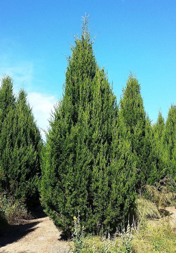 Pin By Plants People On Conifers Red Cedar Plants
