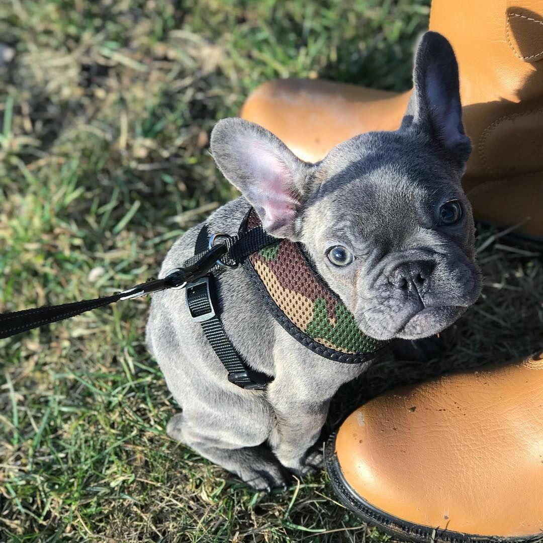 French Bulldog Playful And Smart French Bulldog French Bulldog Puppies Bulldog